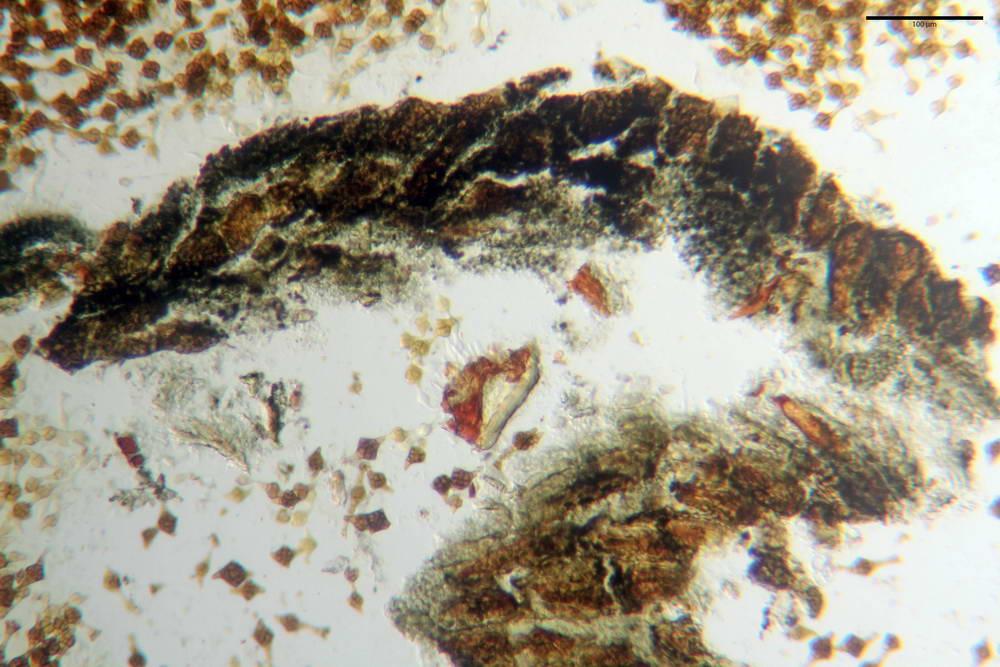 phragmotrichum chailletii 5036 03.jpg