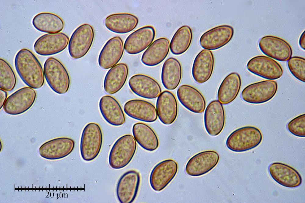 Cyclocybe cilindracea spore  08.jpg