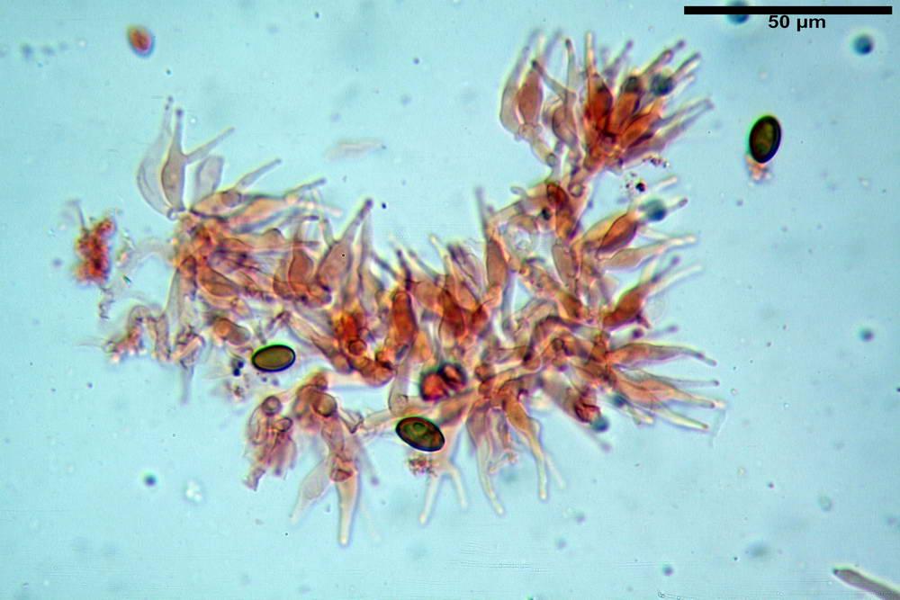 psilocybe semilanceata 4872 27.jpg