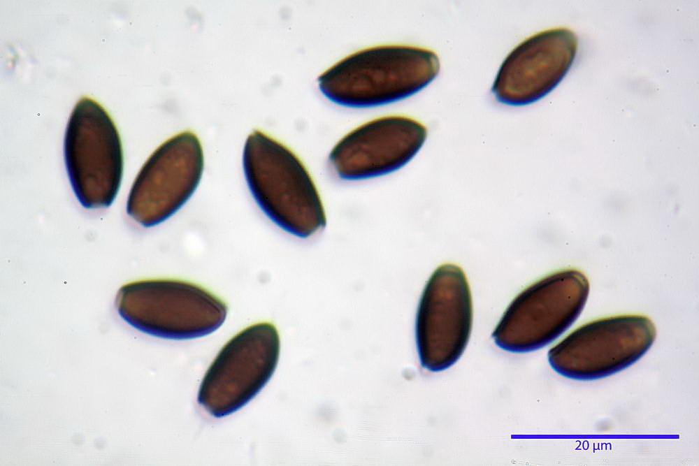 coprinopsis 39.jpg