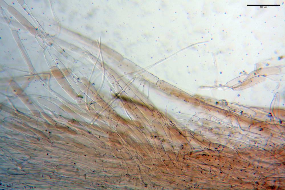 volvariella caesiotincta 4963 09.jpg
