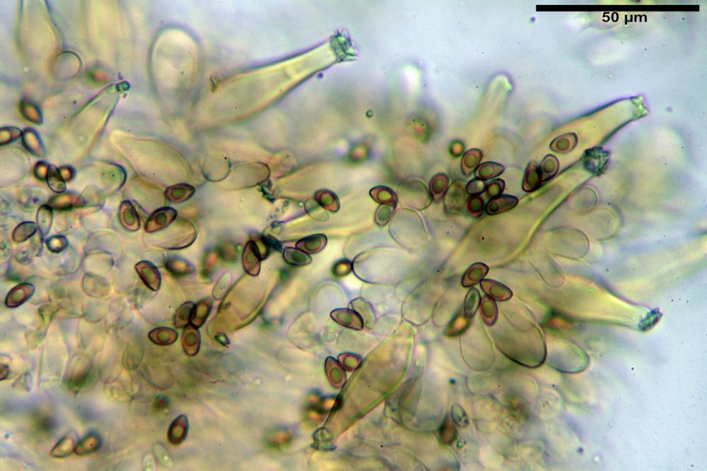 Inocybe flocculosa var crocifolia 7068 21.jpg