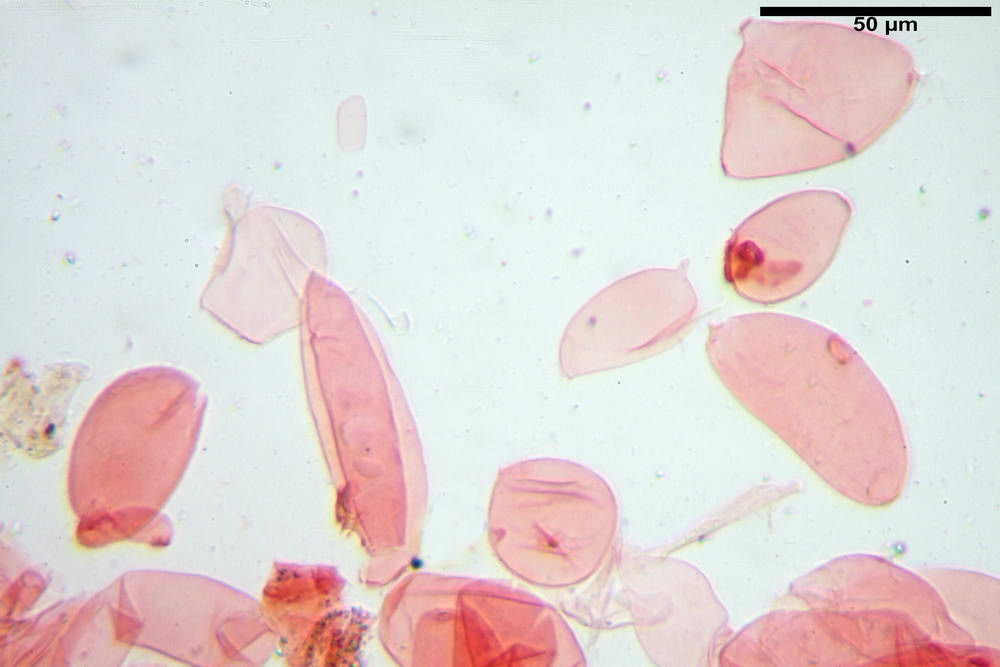 coprinopsis 14.jpg