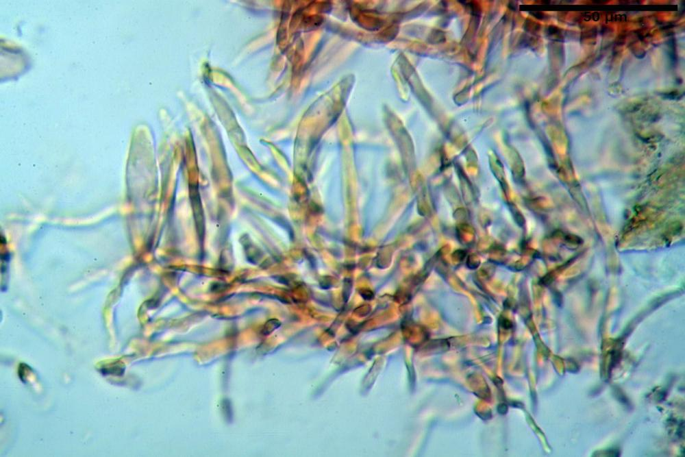 Russula graveolens 6800 06.jpg