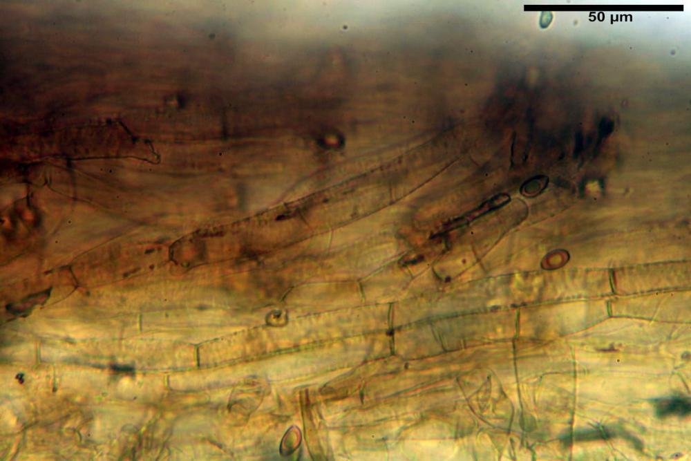 Inocybe flocculosa var crocifolia 7068 08.jpg