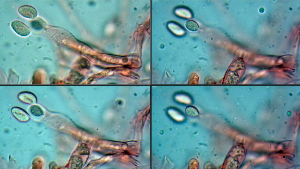Craterellus cornucopioides fo  lutea 13 _resize.jpg
