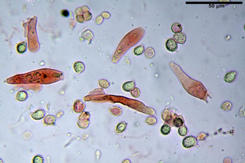 Russula graveolens 6800 30.jpg