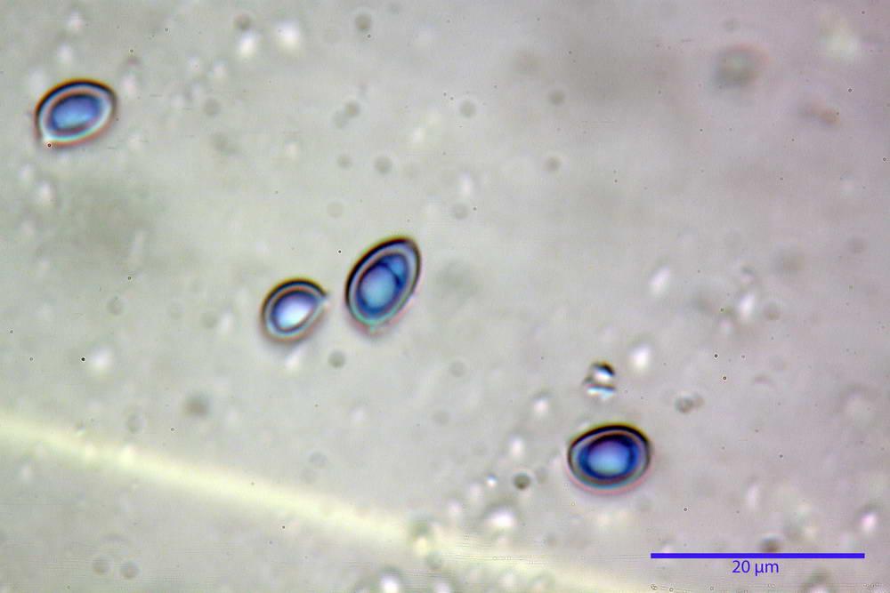 leucoagaricus cinerascens 5025 53.jpg