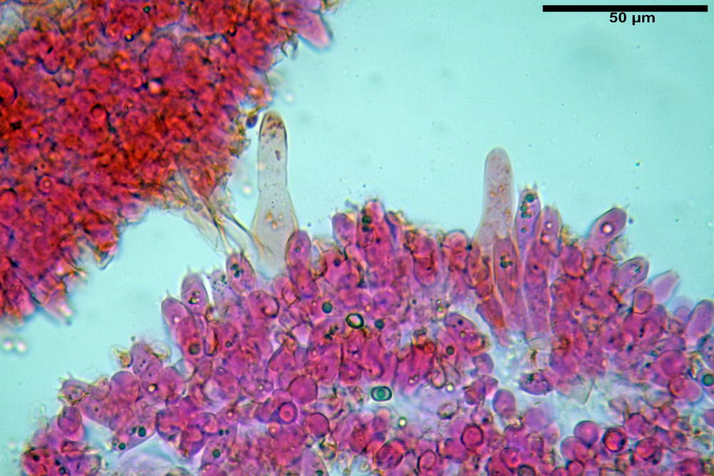 volvariella caesiotincta 4963 57.jpg