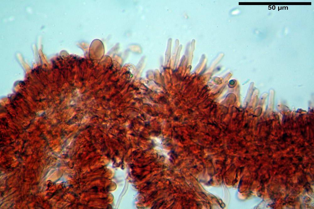 flammulaster carpophilus var carpophilus 4860 18_resize.jpg