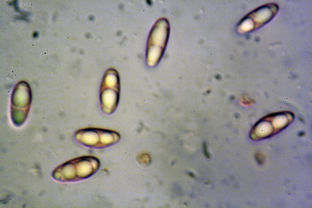 Podophacidium xanthomelum 7945 53_resize.JPG