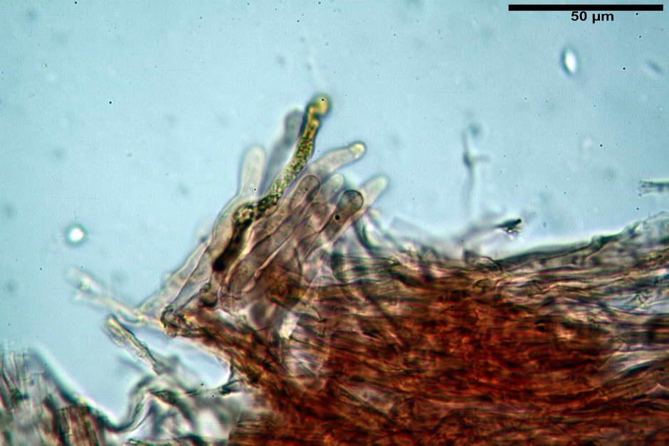 pholiota tuberculosa 4736 42.jpg