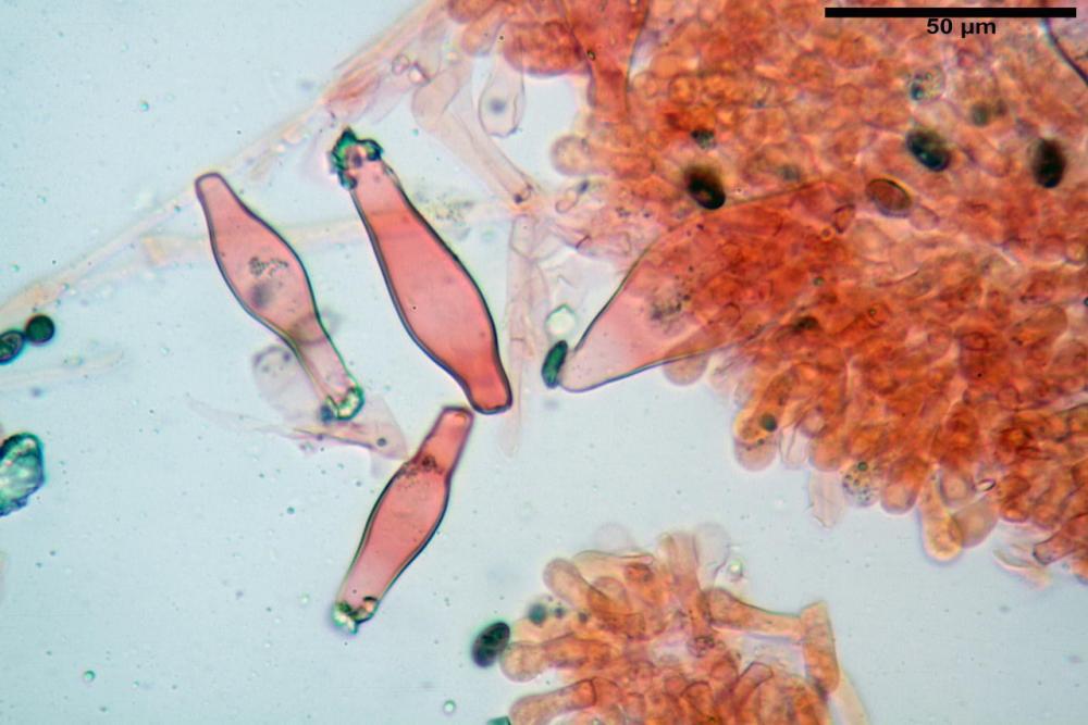 Psathyrella olympiana 45.jpg