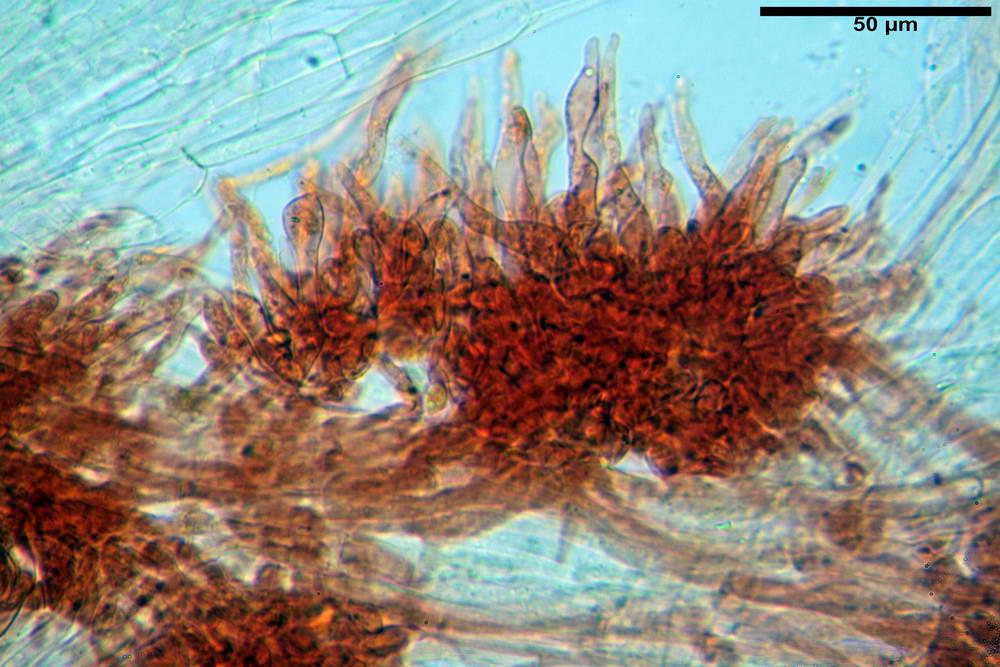 flammulaster carpophilus var carpophilus 4860 42_resize.jpg