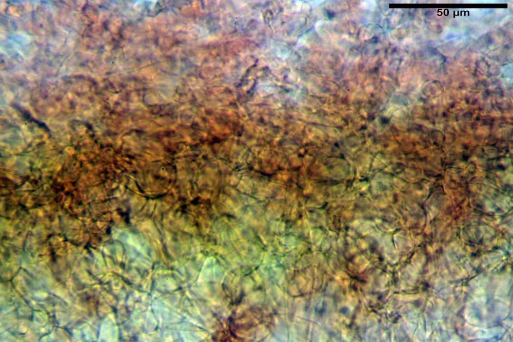 Hypholoma radicosum 6693 07.jpg