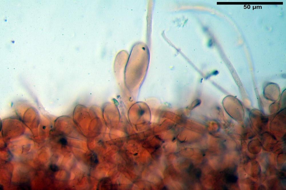 Coprinopsis picacea 6790 10.jpg