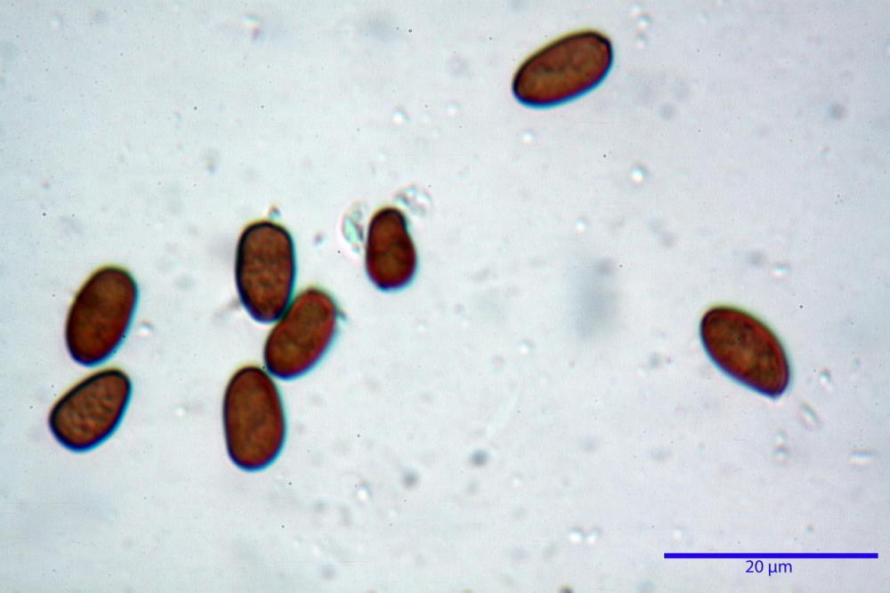 Psathyrella olympiana 49.jpg