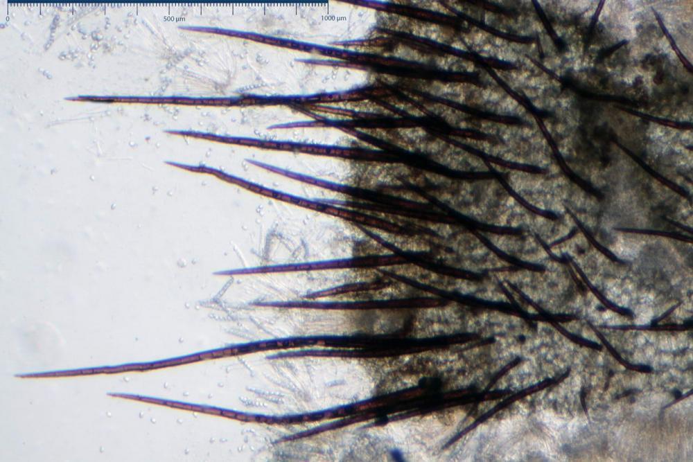 Scutellinia crinita 7493 20.jpg