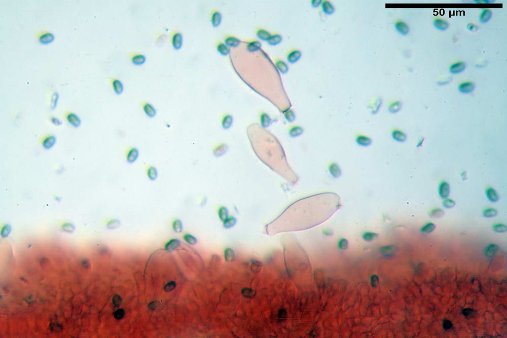 psathyrella hydrophila 29.jpg