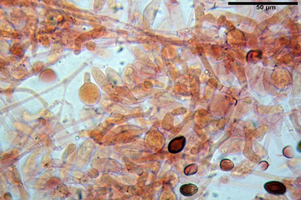 Bolbitius coprophilus 7464 11.JPG