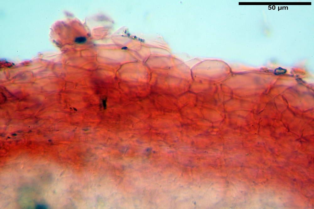 coprinopsis 10.jpg