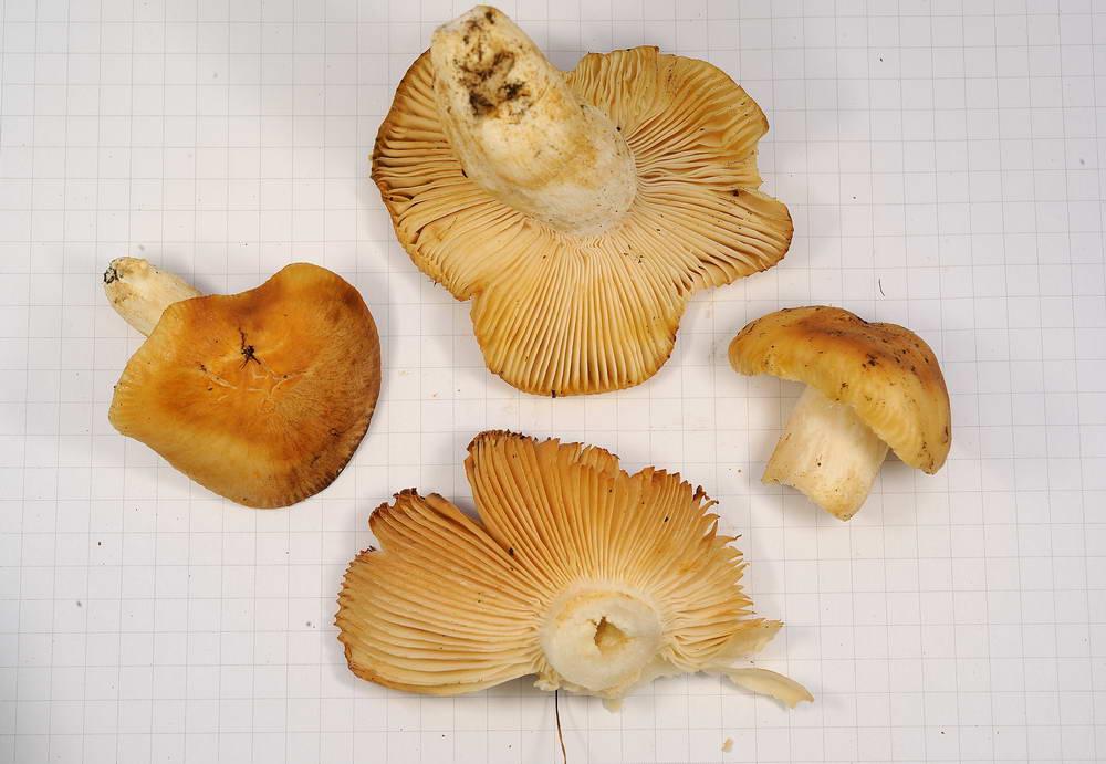 russula farinipes 5001 06.jpg