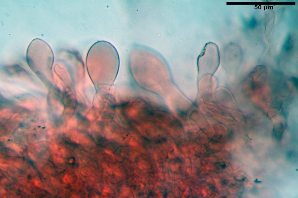pluteus sandalioticus 32 .jpg
