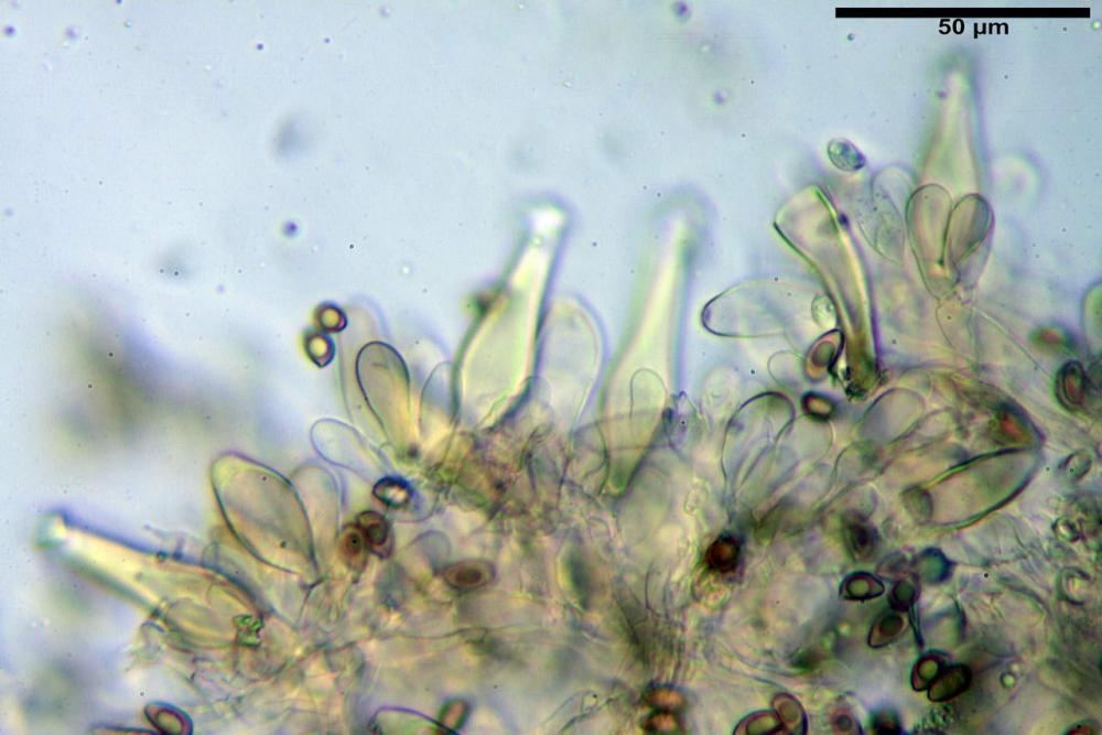 Inocybe flocculosa var crocifolia 7068 26.jpg