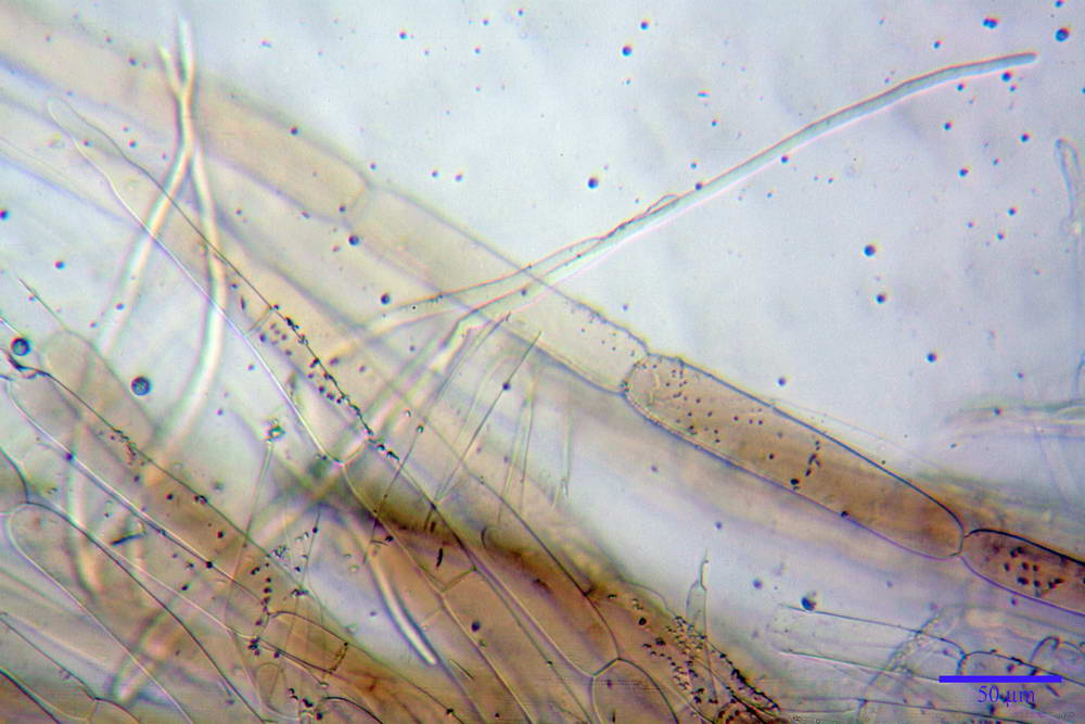 volvariella caesiotincta 4963 14.jpg