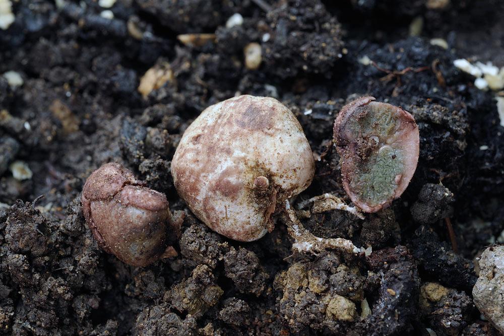 hysterangium coriaceum 5056 2.jpg