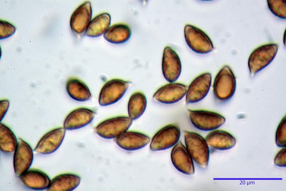 Hebeloma quercetorum 7370 43.jpg