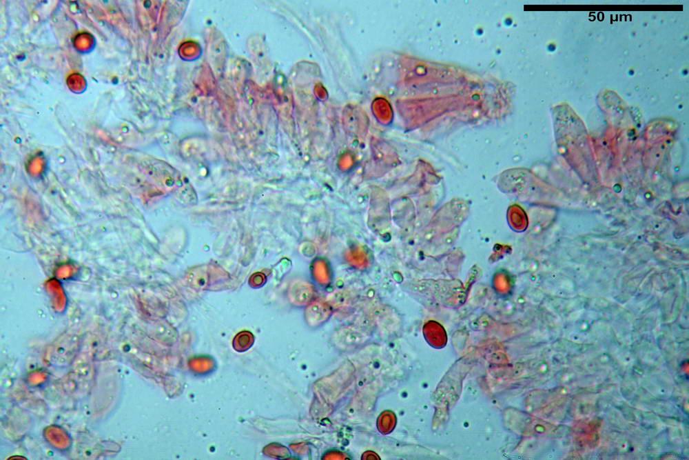 leucoagaricus cinerascens 5025 36.jpg