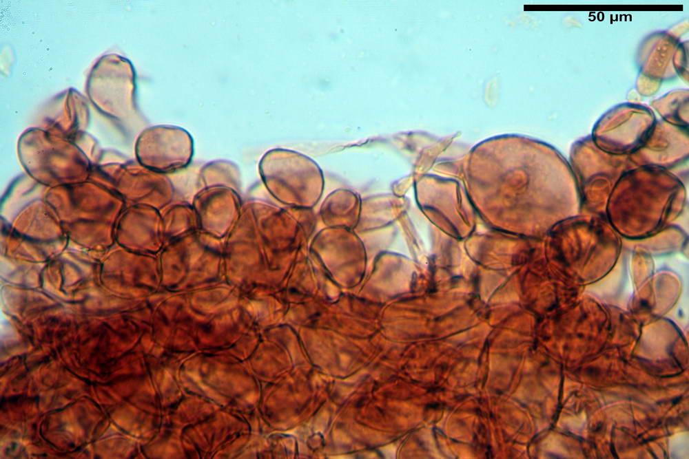 flammulaster carpophilus var carpophilus 4860 15_resize.jpg