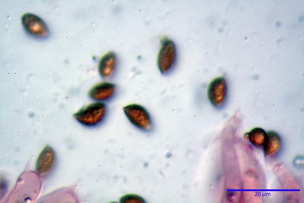 Phaeocollybia lugubris 6657 62.jpg