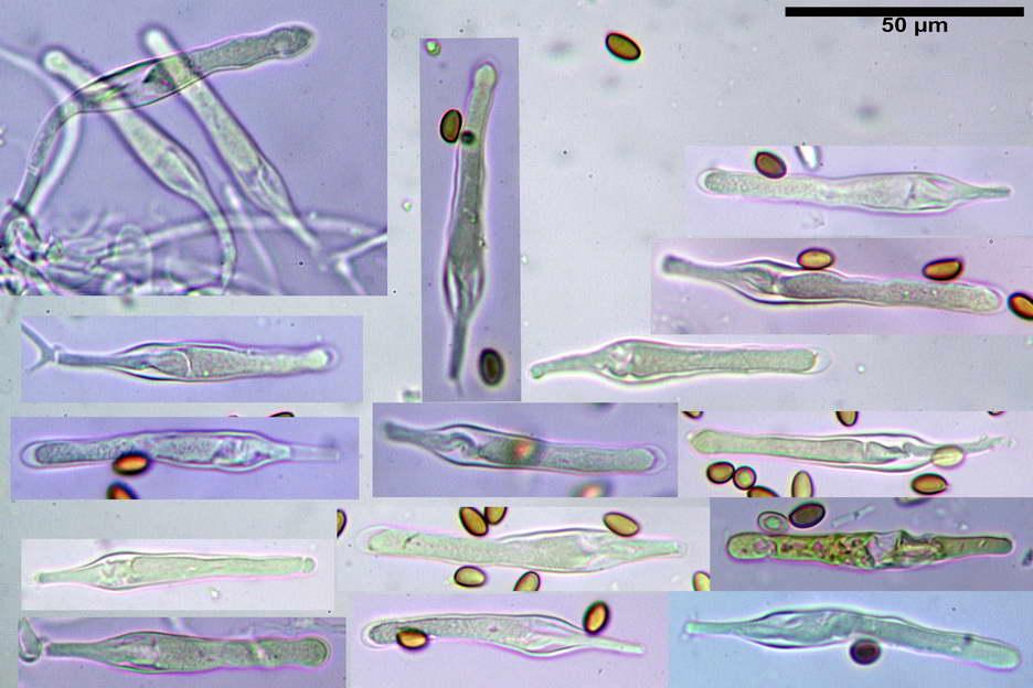 pholiota higlandensis 4837 14.jpg