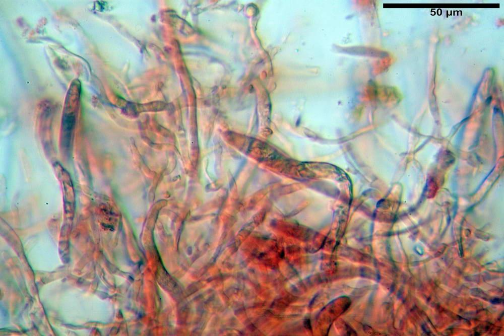 russula farinipes 5001 29.jpg