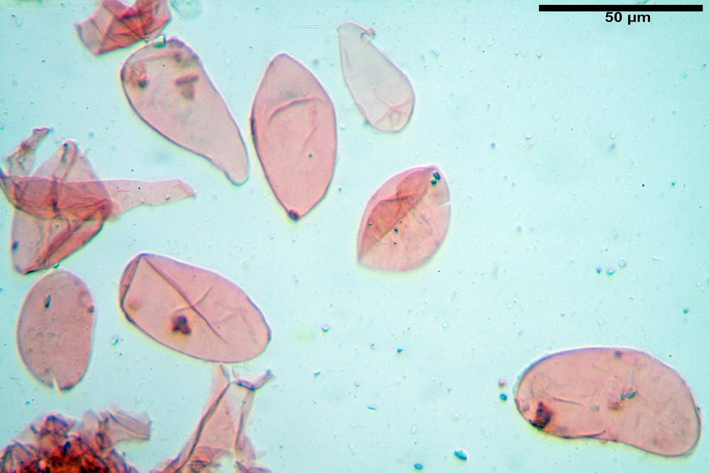coprinopsis 16.jpg