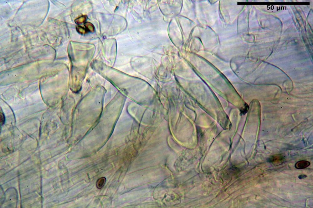 Inocybe flocculosa var crocifolia 7068 78.jpg
