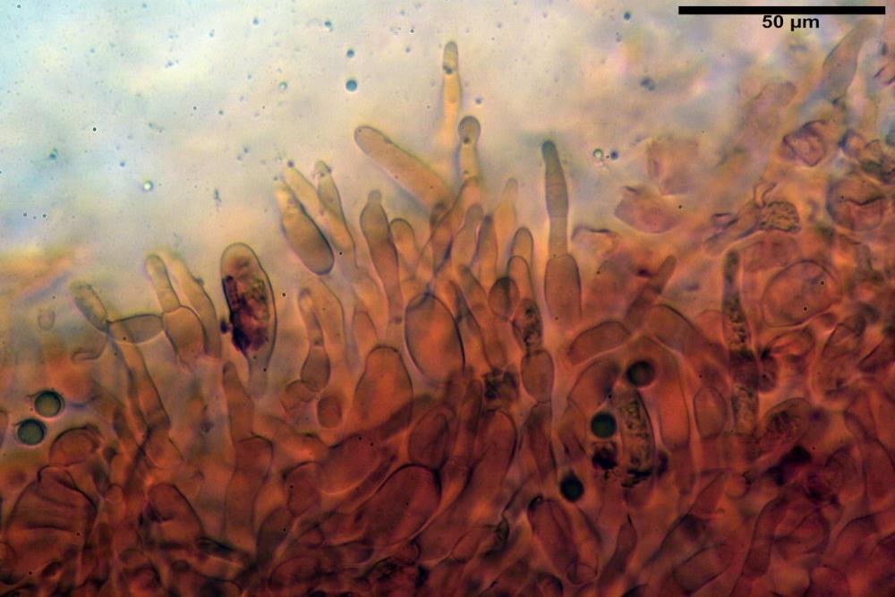Russula faustiana0010.jpg