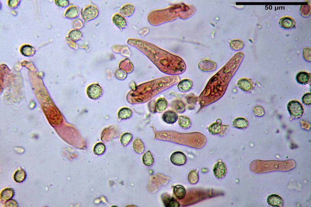 Russula graveolens 6800 29.jpg