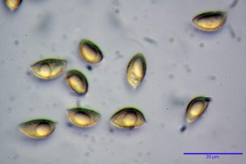 Hebeloma quercetorum 7370 56.JPG