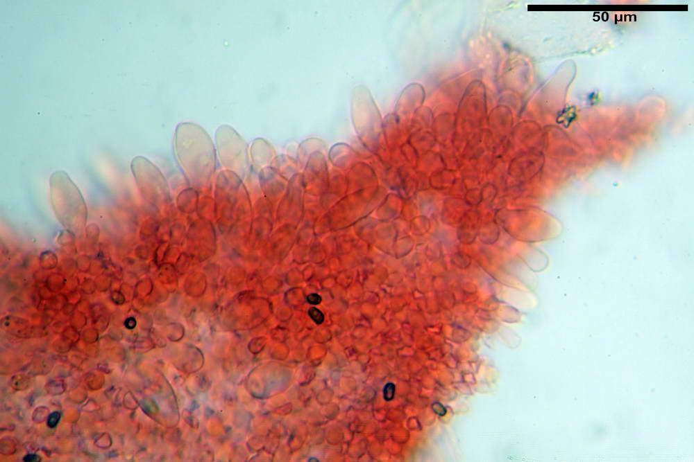 psathyrella hydrophila 18.jpg