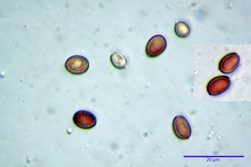 leucoagaricus cinerascens 5025 63.jpg