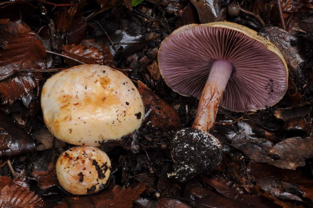 Cortinarius violaceipes 7411 04.JPG