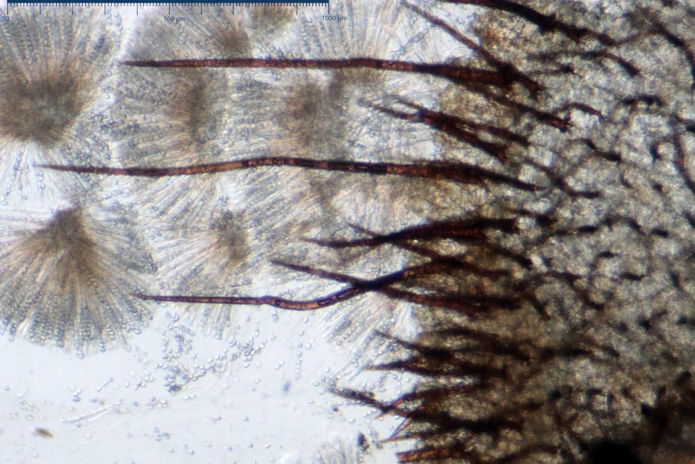 Scutellinia crinita 7493 23.jpg