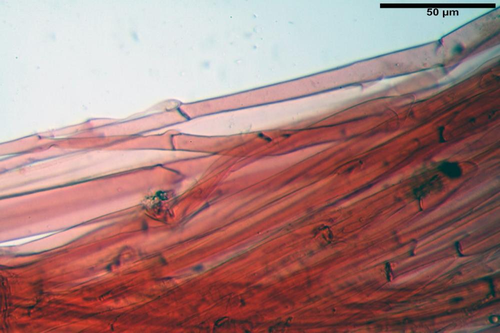 pluteus sandalioticus 58 .jpg