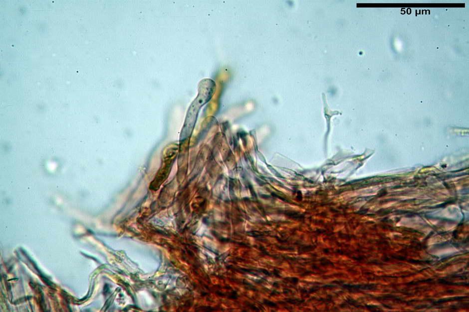 pholiota tuberculosa 4736 41.jpg