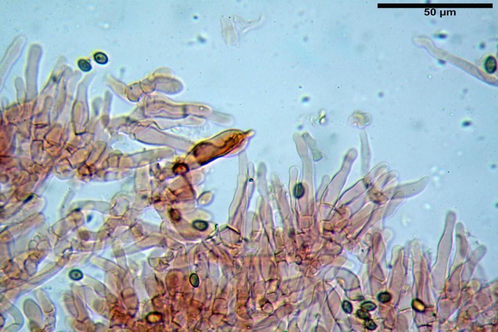 Hypholoma radicosum 6693 15.jpg