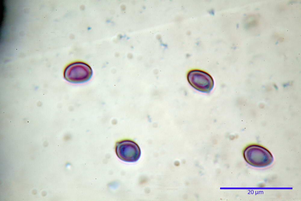 leucoagaricus cinerascens 5025 54.jpg