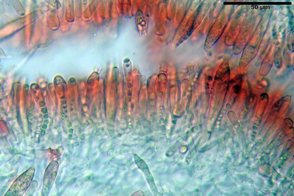 russula farinipes 5001 36.jpg
